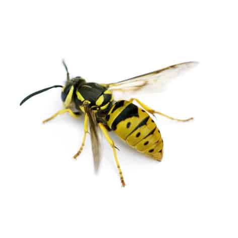 Bees & Wasps - Waltham Pest Control